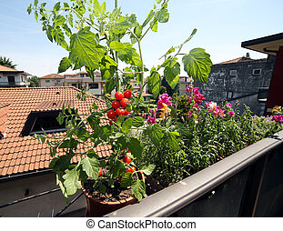 red tomato plant in the balcony of a house