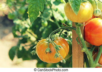 Red tomatoes growing in garden