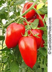 Red tomatoes in greenhouse