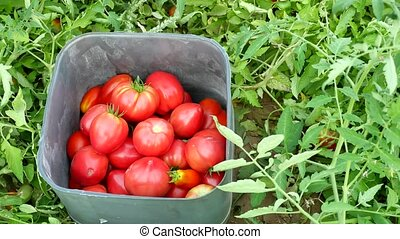red tomatoes in plastic hothouse. Tomato plantations in a...
