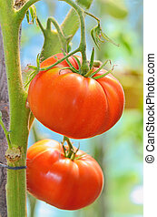 Red tomatoes in the garden