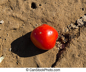 red tomatoes lying on the ground