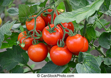 tomatoes on a branch