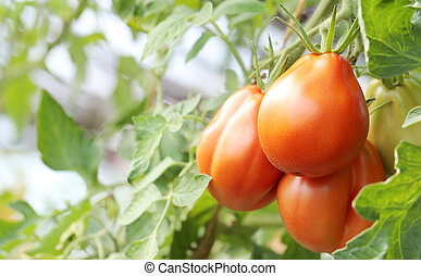 Red tomatoes on a branch