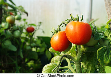 Red tomatoes on background green sheet