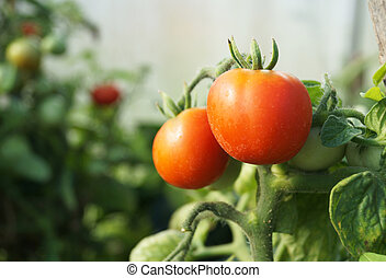 Red tomatoes on green branch