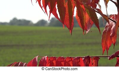 red tree leaf in wind to verdant winter crop field at day....