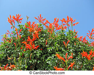 Red tropical flower - Cape Honeysuckle