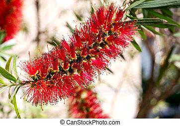Red tropical mediterranean flower - callistemon