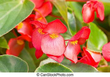 Red Tuberous begonia.