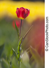 red tulip between a lot of yellow flowers in dutch flower field