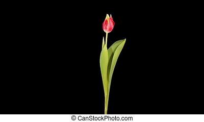 Red tulip bloom buds ALPHA matte, FULL HD (Tulipa Pretty...