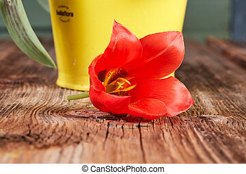 Red tulip blossom on a wooden table