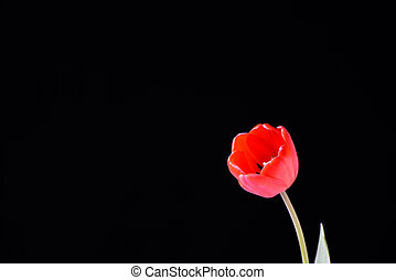 Red tulip bud on a black background.