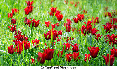 Red tulip buds with fresh green leaves in soft light in green on blur background. Holland tulip flowers in the park in spring.