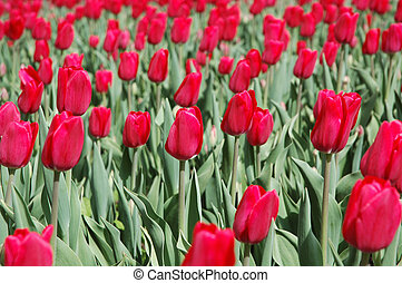 Red Tulip Field - Field of red tulips in the spring
