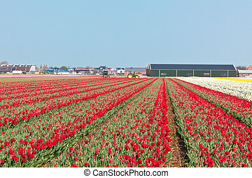 Red tulip field in Holland