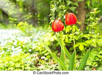 Red tulip flower bloom in spring