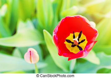 red tulip flower blossom with copy space