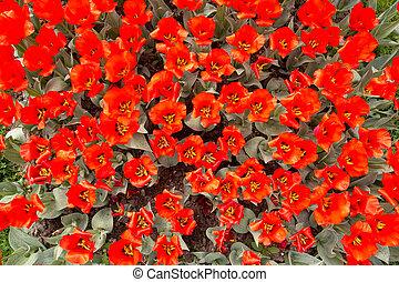 Red tulip flower in a spring garden