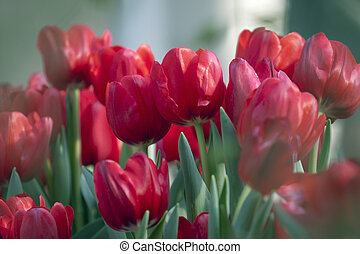 red tulip flower in the garden with