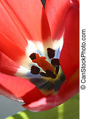Red tulip flower inside view