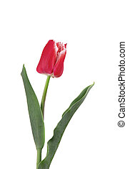 Red tulip flower, isolated on white background. Spring Flower.