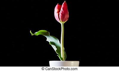 Red Tulip Flower On Black Background
