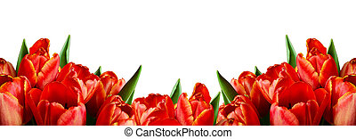 Red tulip flowers in a border