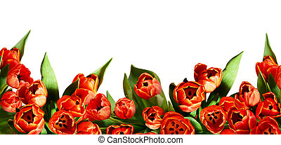 Red tulip flowers in a bottom border