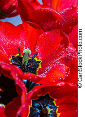Red tulip flowers in the garden. Beautiful tulips during the flowering period. Hybrid variety. Selective focus. Natural spring background. Postcard Greeting card for holiday. Flower texture
