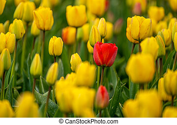 Red tulip in a field of yellow ones