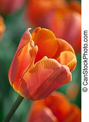 red tulip in a garden