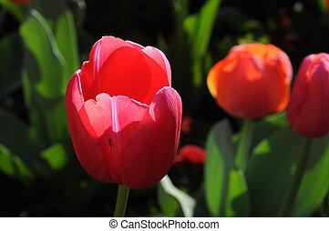 Red tulip in bright summer light