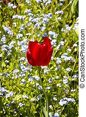 Red Tulip in Field
