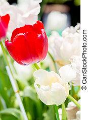 red tulip in garden