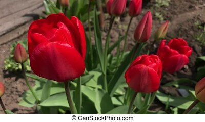 Red tulip in spring swaying in the wind
