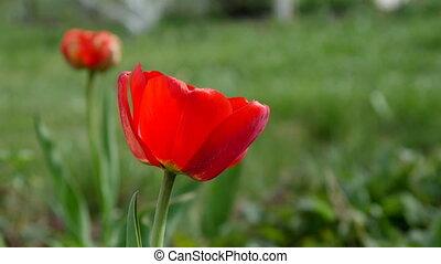Red tulip in the field. 4k UltraHD video
