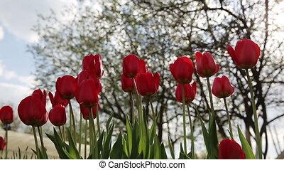Red tulip in the garden.