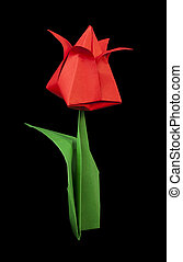 Red tulip isolated on black background