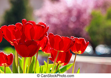 red tulip on color blurred background - red tulip on blurred...