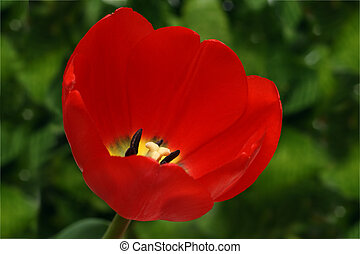 red tulip on green background