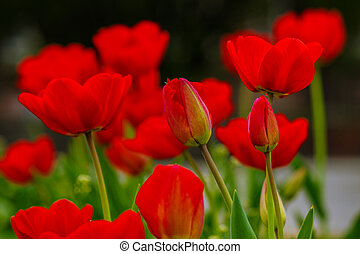 red tulip on green blurred background - red tulip on blurred...