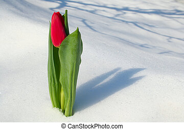 Red tulip on snow