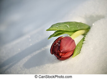Red Tulip on the snow