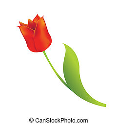 Red tulip on white background. Vector illustration