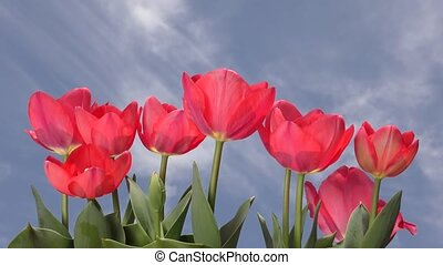 Red tulip under sky - Lined red tulip flowers under blue sky...