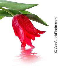Red tulip with reflection in water