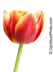 red tulip with water drops