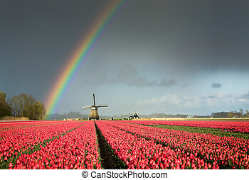Red tulips, a windmill and a rainbow